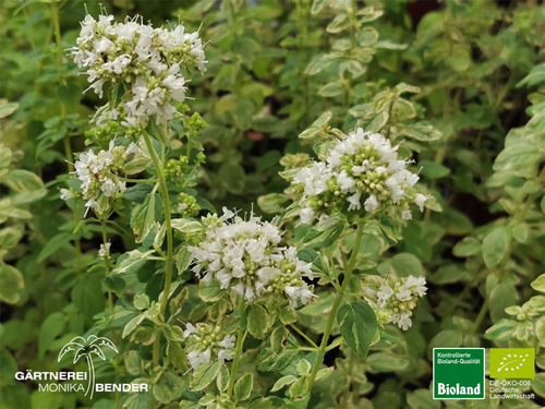 Weißbunter Oregano | Origanum vulgare 'Country Cream' | Bioland