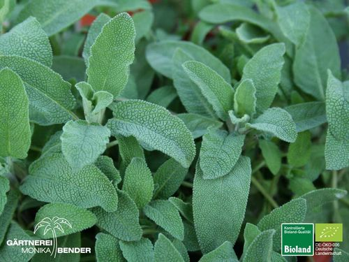 Apotheker Salbei | Salvia officinalis 'Growers Friend' | Bioland