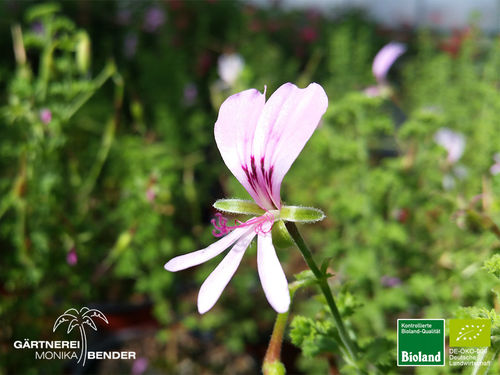 Zitronen Duftperlagonie | Pelargonium citriodorum | Bioland
