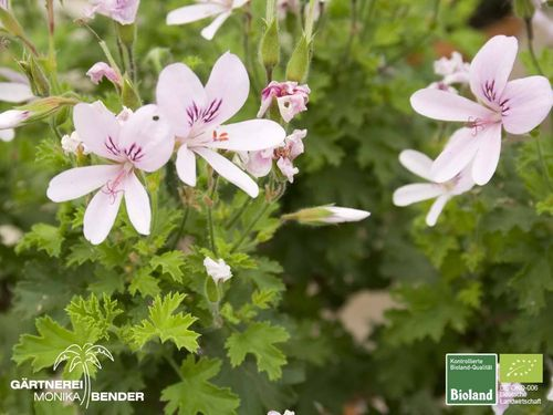 Orangen Duftpelargonie | Pelargonium x citriodorum 'Prince of Orange' | Bioland
