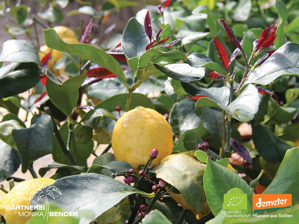 Zitronenbäumchen Bioland Gärtnerei