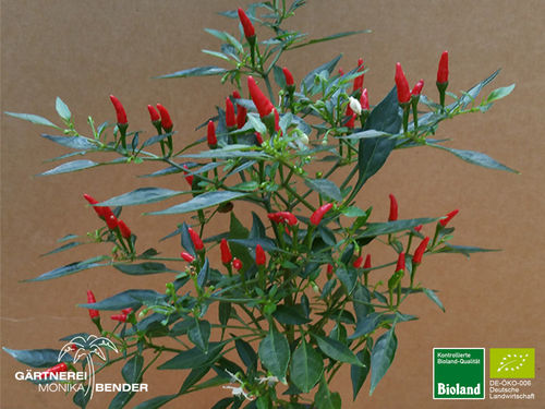 Balkonchili 'Chinese Ornamental' | Capsicum annum | Bioland