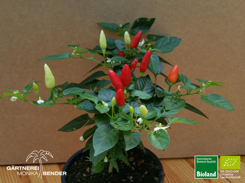 Balkonchili 'Prarie Fire' | Capsicum annum | Bioland