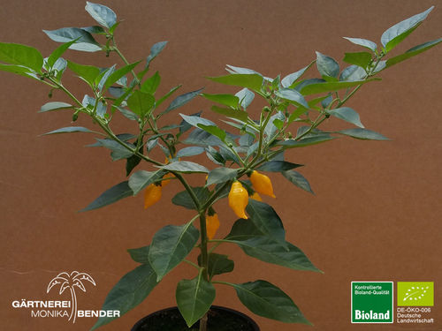 Mini Habanero ' Yellow Pointy' | Capsicum chinense | Bioland