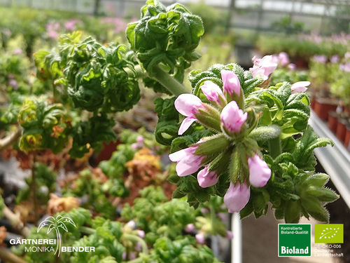 Zitronen Duftpelargonie | Pelargonium citriodorum 'Bonsai Lemon Tree' | Bioland