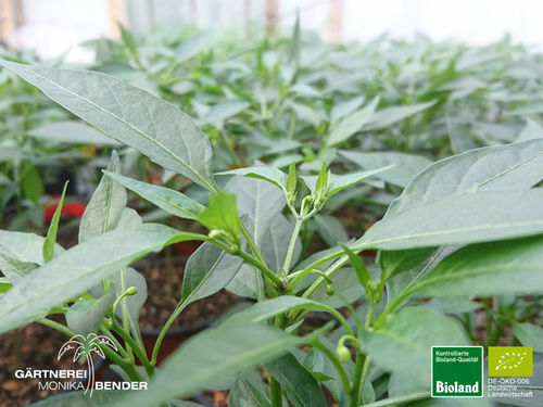 Balkonchili 'Bonsai Thai' | Capsicum annum | Bioland