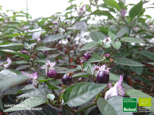 Balkonchili 'Pretty in Purple' | Capsicum annum | Bioland